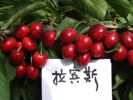 大樱桃适宜温室栽培的四个品种9878 发布时间:2016-1-5 22:17