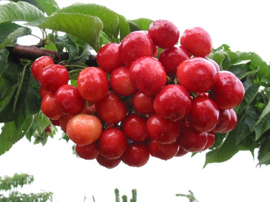 大樱桃适宜温室栽培的四个品种8179 发布时间:2016-1-5 22:17